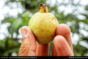 گزارش تصویری از محصولات زیتون در روستای ماشکار
