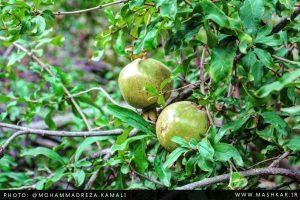 گزارش تصویری از محصولات انار در روستای ماشکار