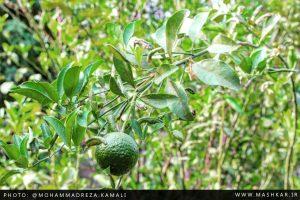 گزارش تصویری از محصولات نارنگی در روستای ماشکار