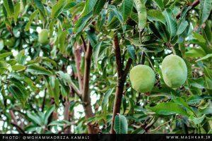 گزارش تصویری از محصولات انبه در روستای ماشکار
